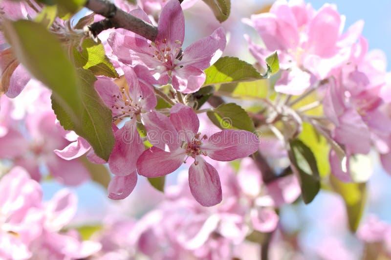 Blühender Zweig des Obstbaumes stockfoto