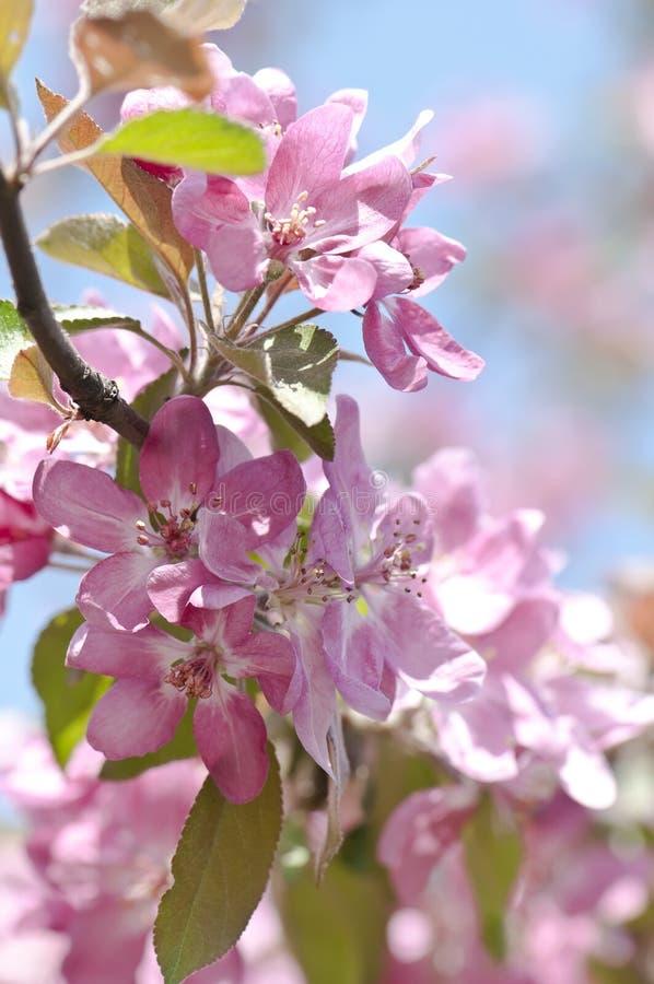 Blühender Zweig des Obstbaumes lizenzfreies stockbild