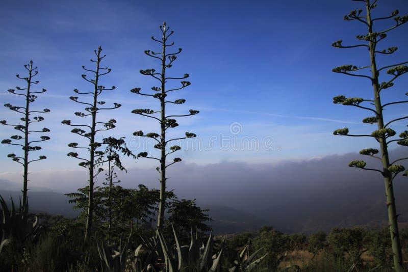 Blühendes Agave Americana-variegata gegen blauen Himmel und niedrige hängende Wolken in einem Tal in Sierra Nevada, Andalusien, S lizenzfreies stockbild