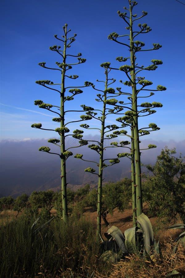 Blühendes Agave Americana-variegata gegen blauen Himmel und niedrige hängende Wolken in einem Tal in Sierra Nevada, Andalusien, S lizenzfreie stockfotografie