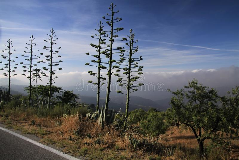 Blühendes Agave Americana-variegata gegen blauen Himmel und niedrigen hängenden Wolkenteppich in einem Tal entlang Gebirgsstraße  stockfoto