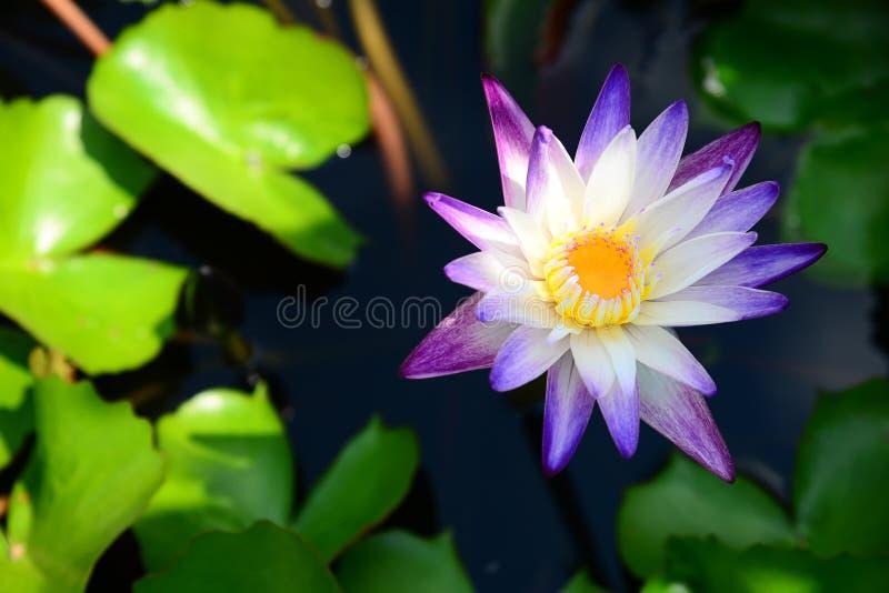 Blühendes Blau und Violet Nymphaea Lotus mit grünen Blättern und unscharfem Hintergrund stockfotografie