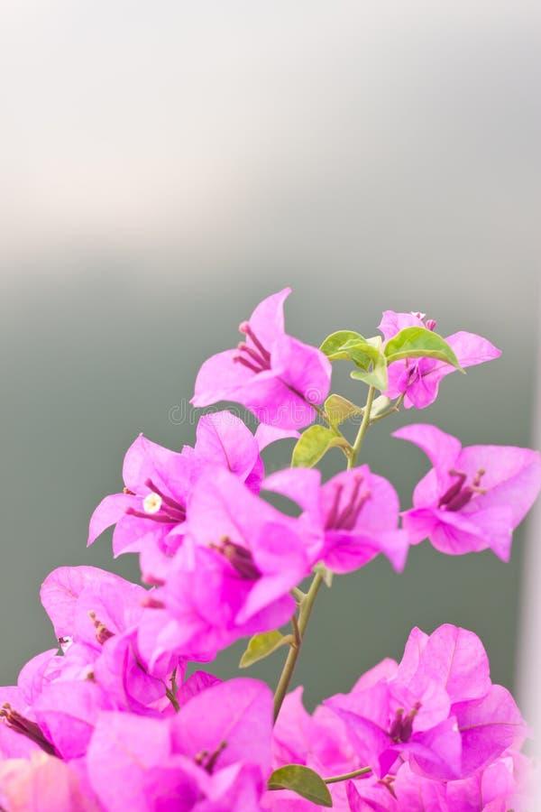 Blühendes Bouganvilla stockbilder