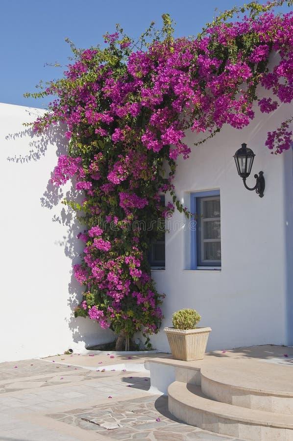 Blühendes Bouganvilla, das Fenster gestaltend stockfotografie