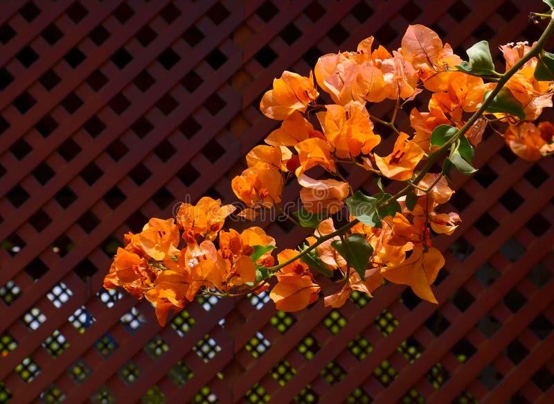 Blühendes Bouganvilla mit schönen orange Blumen im Park von Teneriffa, Kanarische Inseln, Spanien stockfoto