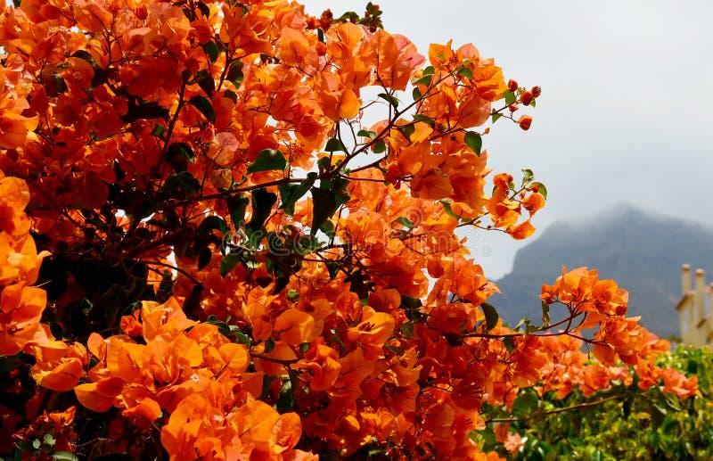 Blühendes Bouganvilla mit schönen orange Blumen im Park von Teneriffa, Kanarische Inseln, Spanien lizenzfreies stockfoto