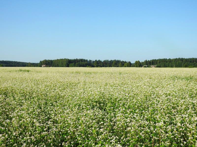 Blühendes Buchweizenfeld im Sommer, Litauen stockbild