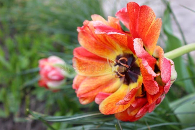 Blühendes buntes Blumenrot, gelb lizenzfreies stockbild