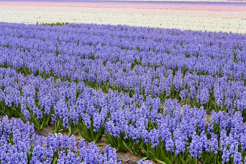 Blühendes buntes Feld von geocynts im Frühjahr, Holland, die Niederlande lizenzfreies stockbild
