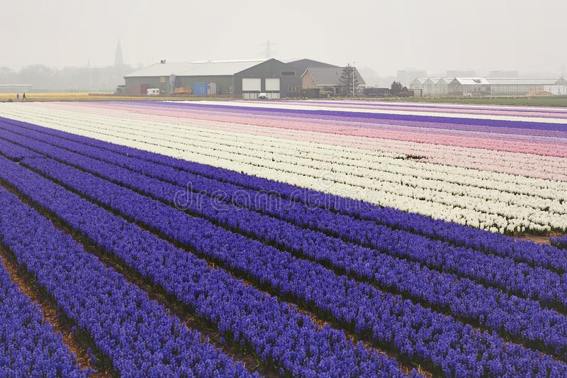 Blühendes buntes Feld von violetten Hyazinthenblumen während des Frühlinges, Holland, die Niederlande lizenzfreie stockfotografie