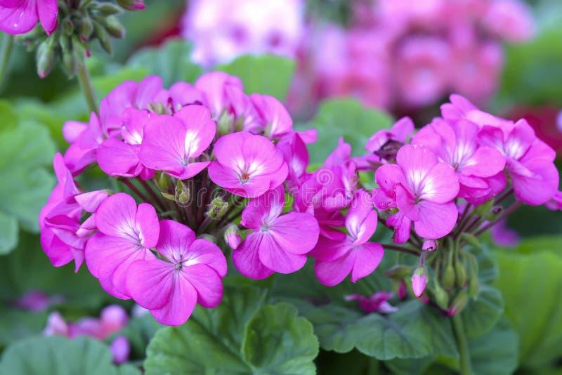 Blühendes buntes rosa der Pelargonien-Blume, weiß, purpurrot lizenzfreie stockfotografie