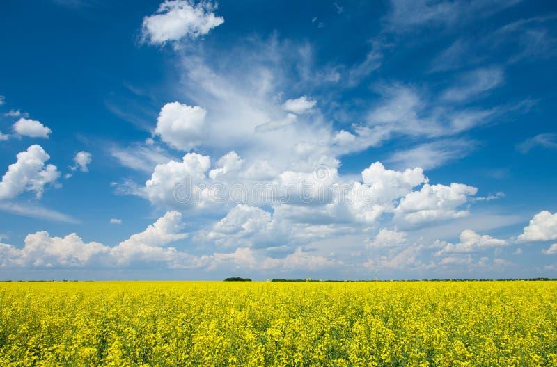 Blühendes canola oder Rapssamenfeld stockbild