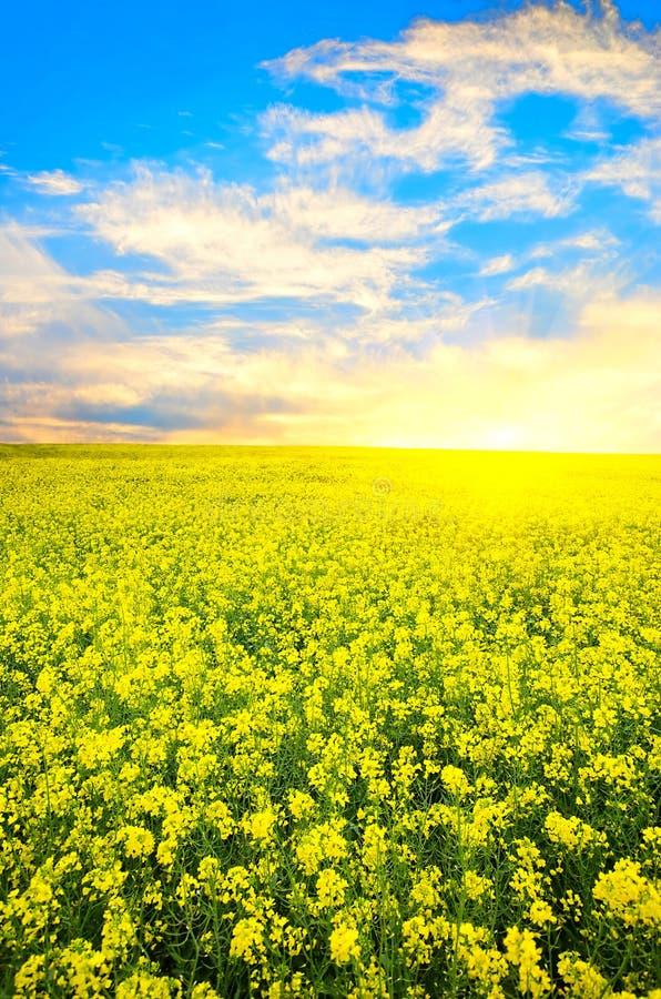 Blühendes conola lizenzfreies stockbild
