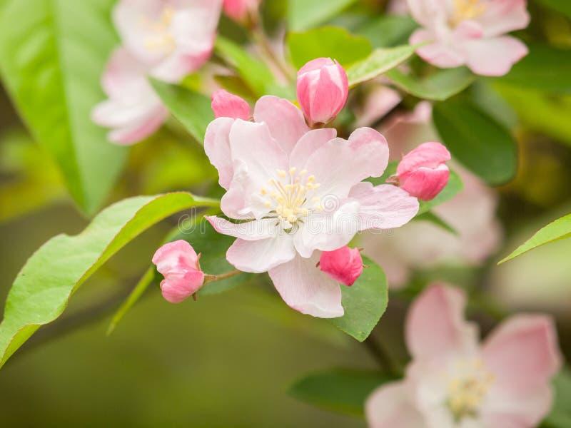 Blühendes crabapple, Malus halliana oder Begonie stockbilder
