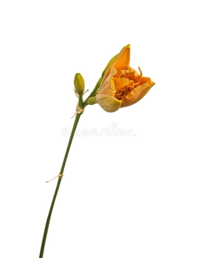 Blühendes doppeltes Daylily ` früh frühes Trüffel ` auf weißem Hintergrund lizenzfreie stockfotos