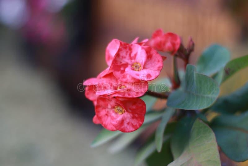 Blühendes Euphorbiengummi milii stockfotos