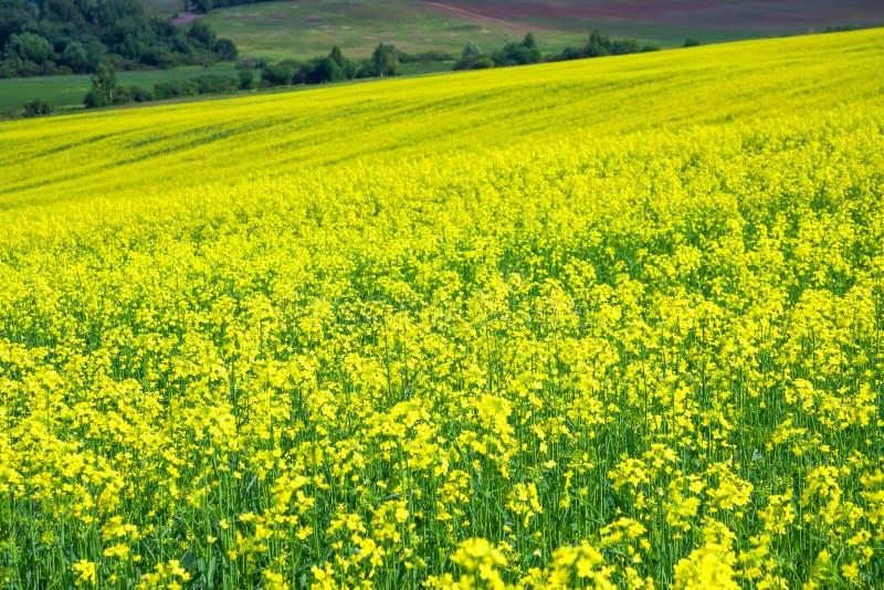 Blühendes Feld des gelben Rapssamens lizenzfreies stockfoto
