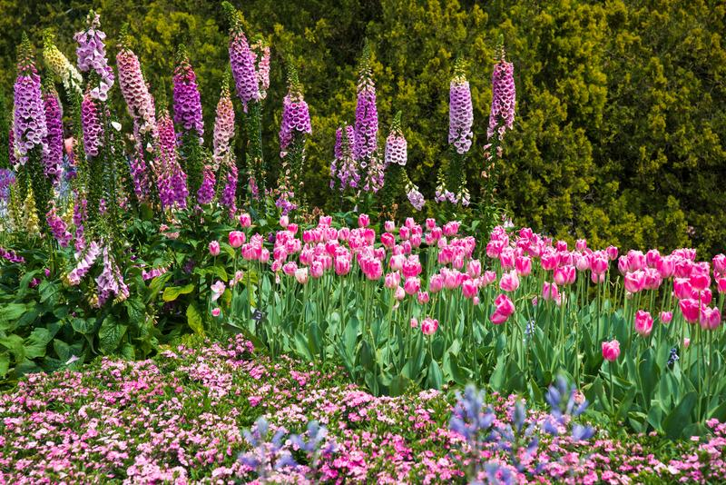 Blühendes Feld von rosa Blumen mit Fingerhüten und Tulpen stockfoto