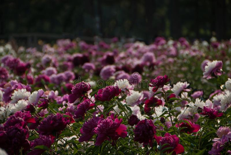 Blühendes Feld von weißen, rosa Pfingstrosenblumen stockfotografie