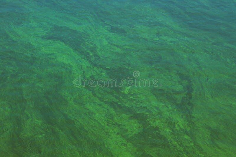 Blühendes grünes Wasser lizenzfreies stockfoto