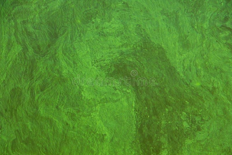 Blühendes grünes Wasser stockbild