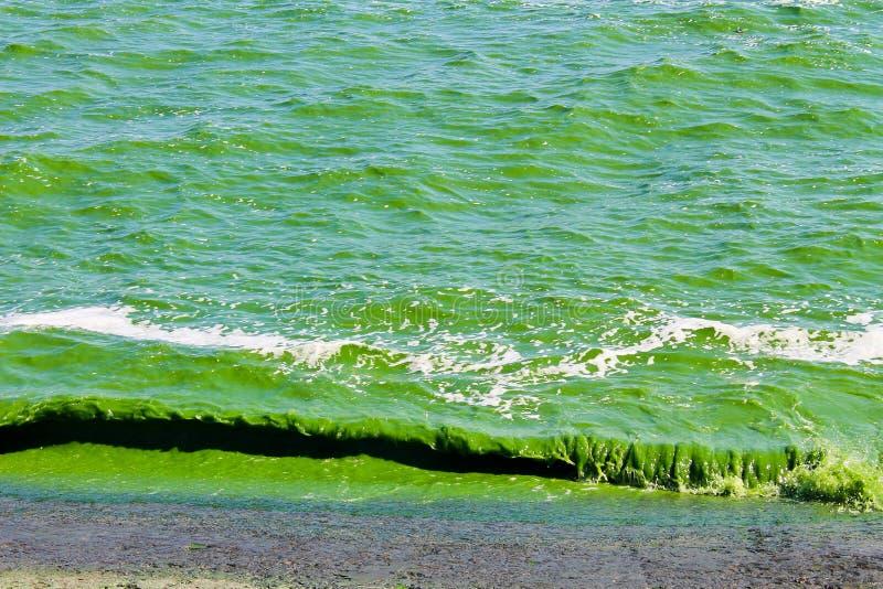Blühendes grünes Wasser stockbilder