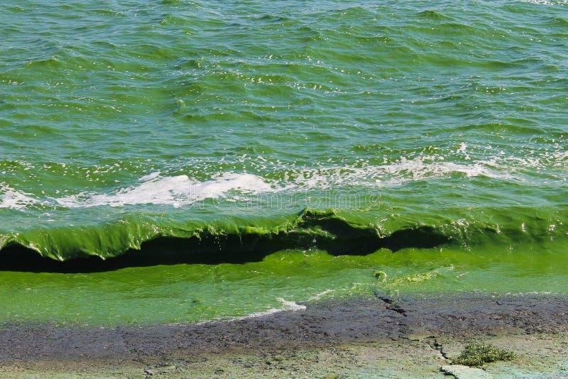 Blühendes grünes Wasser stockfotografie
