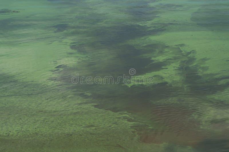 Blühendes grünes Wasser im Teich stockbild