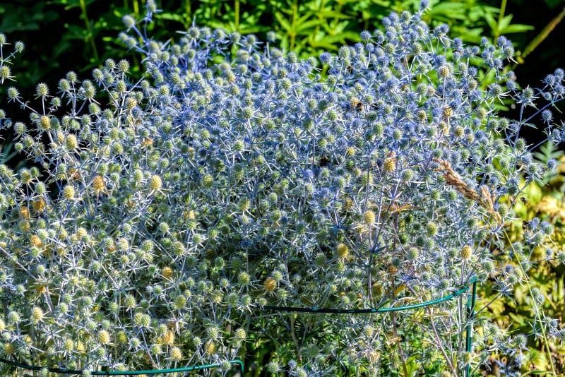 Blühendes heilende Kräuter Eryngium planum im Garten lizenzfreies stockfoto