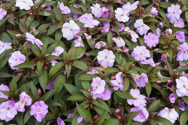 Blühendes Impatiens im Garten stockbild