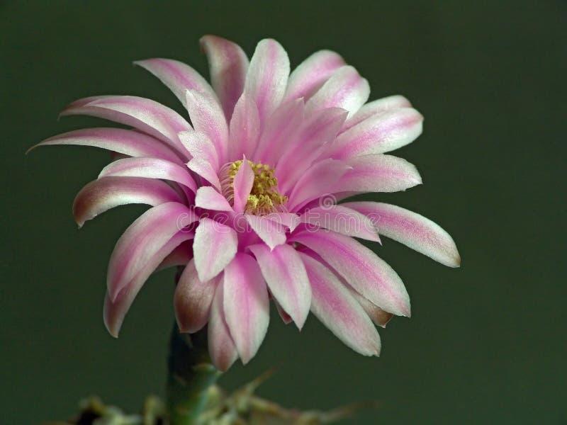 Blühendes Kaktus Gymnocalicium mihanovichii. lizenzfreie stockfotografie