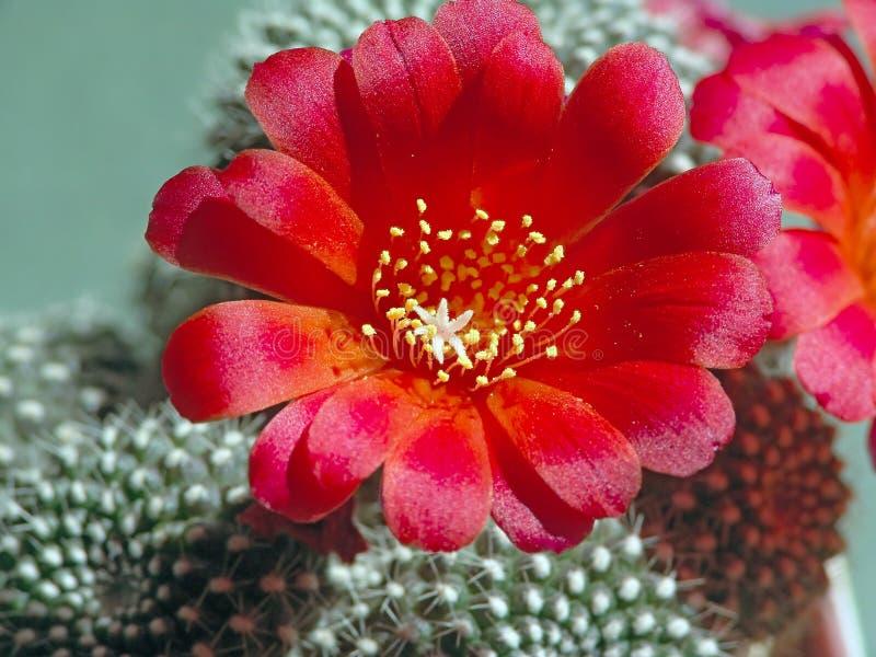 Blühendes Kaktus Rebutia kariusiana. lizenzfreies stockbild