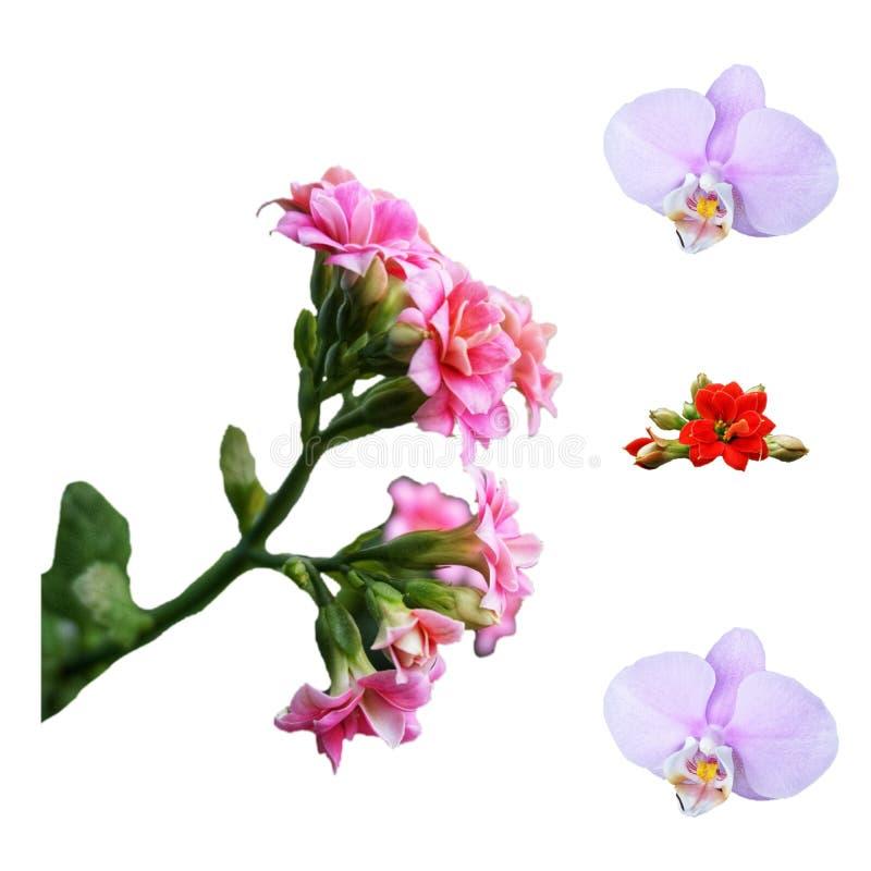 Blühendes Kalanchoe der roten und rosa Farbe, lila Orchideenblume auf einem weißen Hintergrund stockbilder