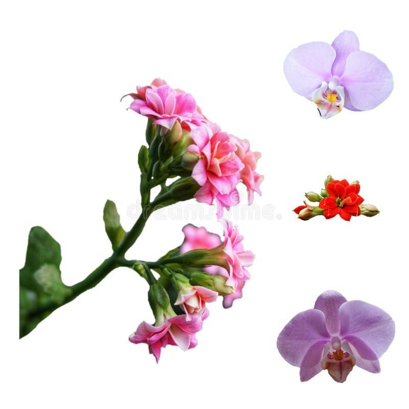Blühendes Kalanchoe der roten und rosa Farbe, lila Orchideenblume auf einem weißen Hintergrund stockbild
