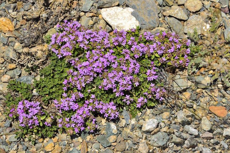 Blühendes kriechender Thymian-Thymusdrüse serpullum auf einem Steinboden lizenzfreie stockfotografie