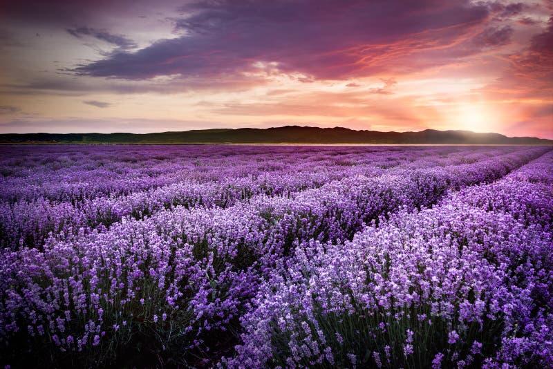 Blühendes Lavendelfeld unter den roten Farben des Sommersonnenuntergangs lizenzfreie stockbilder