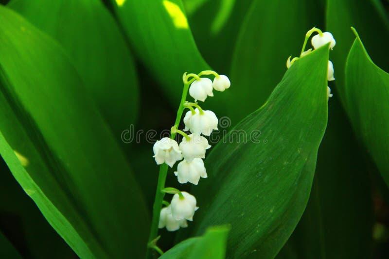 Blühendes Maiglöckchen im dichten Gras im Wald stockbilder