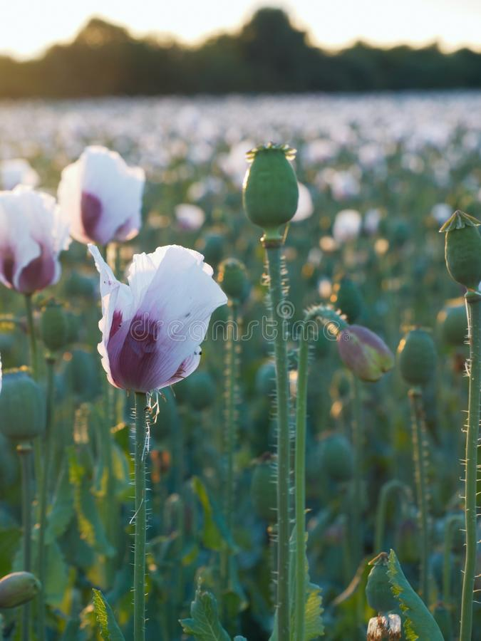 Blühendes Mohnblumenfeld stockbild