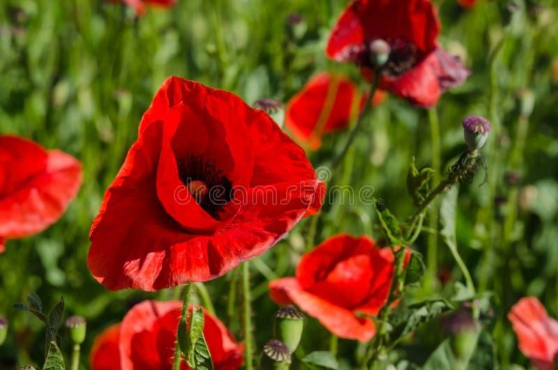 Blühendes Mohnblumenfeld im sonnigen Wetter lizenzfreie stockfotos