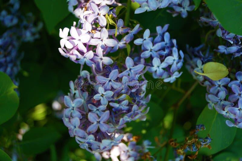 Blühendes nahes hohes der Flieder Unscharfer Hintergrund lizenzfreie stockbilder
