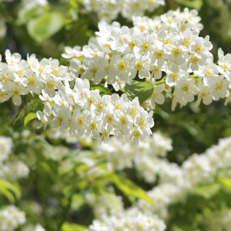 Blühendes nahtloses Muster der Vogelkirschbaum-Blumen vektor abbildung