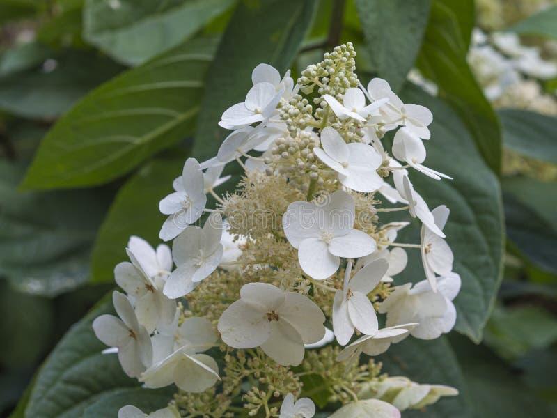 Blühendes perfektes weiße Blume Hortensie quercifolia stockfoto