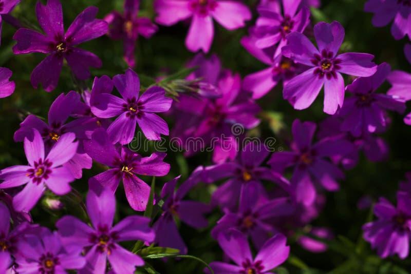 Blühendes purpurrotes Flammenblume subulata lizenzfreie stockbilder