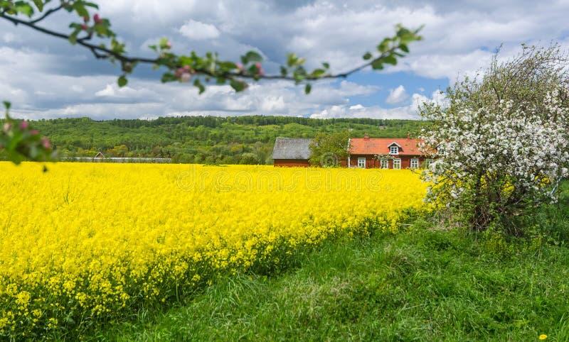 Blühendes Rapsfeld und Apfelbaum auf schwedischem Bauernhof stockfoto