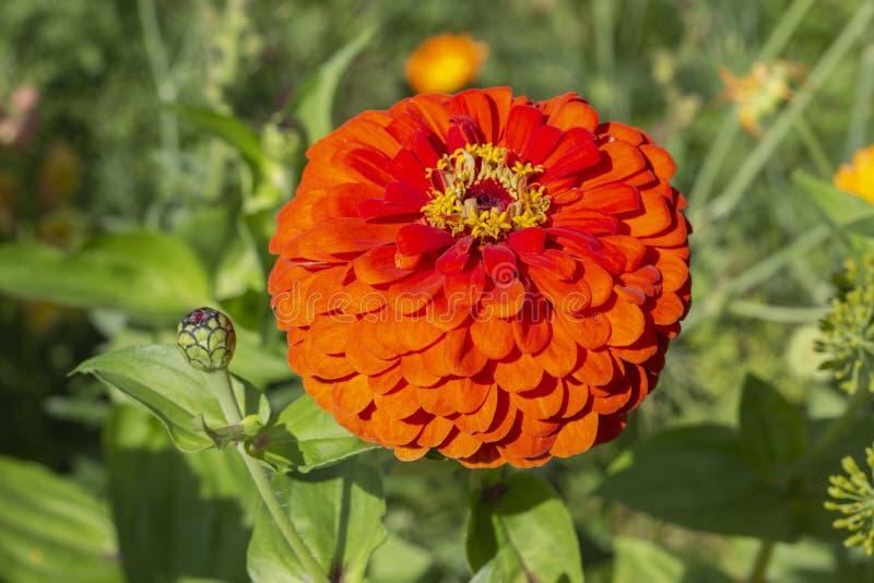 Blühendes rotes Scharlachrot Zinnia elegans dahliaeflora, Blumengartendekoration Blütenstand wie Dahlienasterblume, Nahaufnahme stockbild