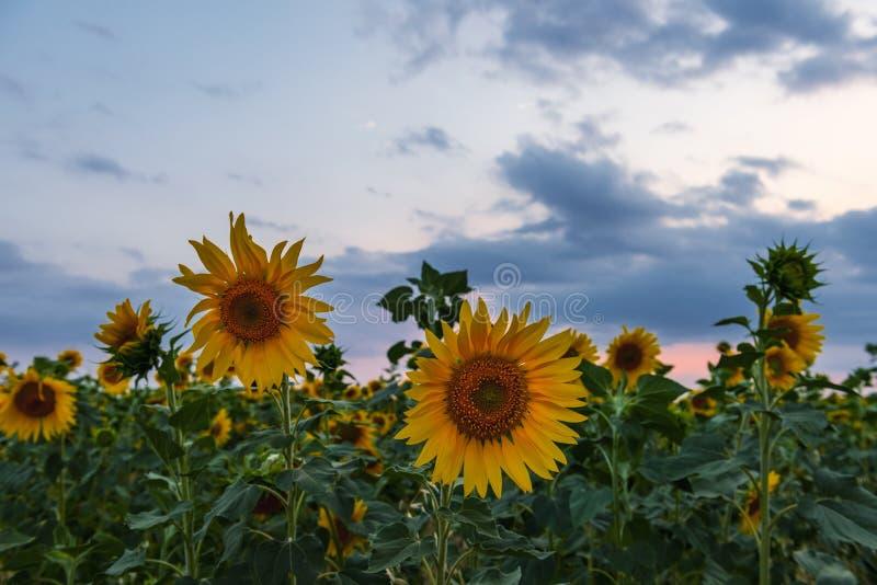 Blühendes Sonnenblumenfeld zur Sonnenuntergangzeit lizenzfreie stockbilder
