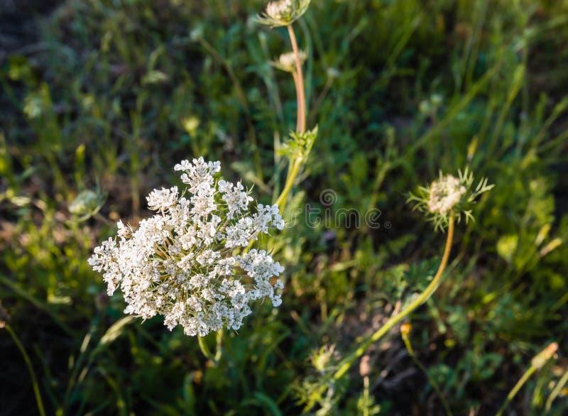 Blühendes Sonnenlicht der wilden Karotte morgens lizenzfreie stockfotografie