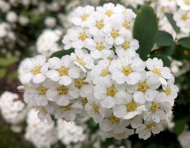 Blühendes Spiraea vanhouttei Makrofoto Weiße Blumen auf Busch lizenzfreie stockbilder
