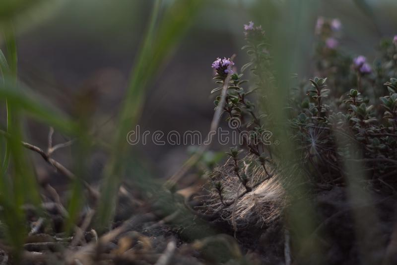 Blühendes Thymiankriechen Thymusdrüse serpà ½ llum lizenzfreies stockbild