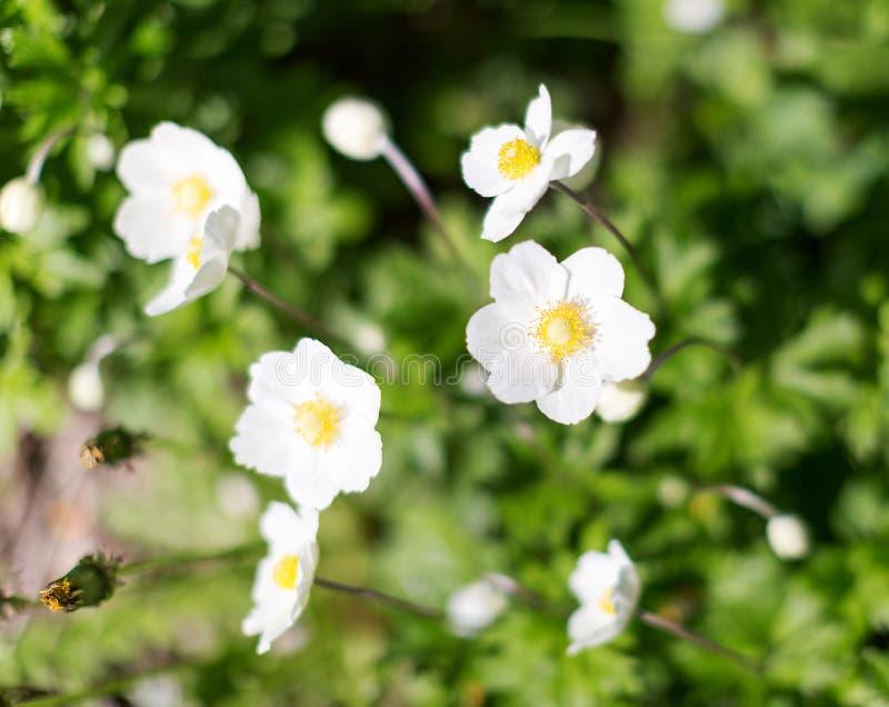 Blühendes weißes Anemone hupehensis Thimbleweed oder Windflower Selektiver Fokus lizenzfreie stockfotos